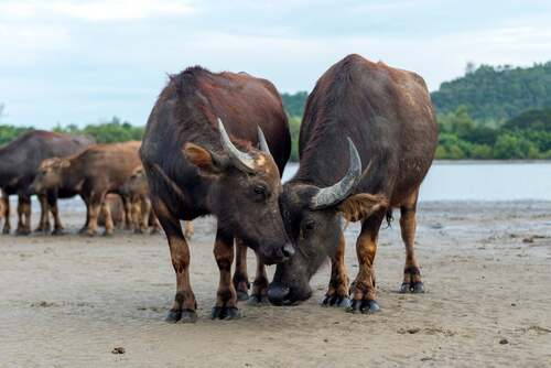 Bufali e bestiame.