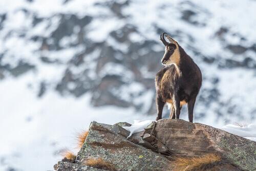 Il camoscio: un acrobata di alta montagna