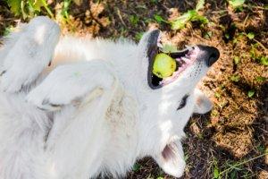 Rischio di asfissia nei cani: cane che gioca con una mela.