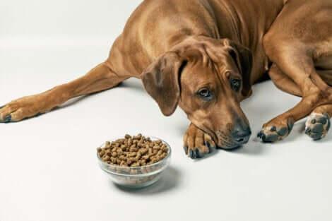 Sindrome dell'intestino irritabile nei cani: cane che si rifiuta di mangiare.