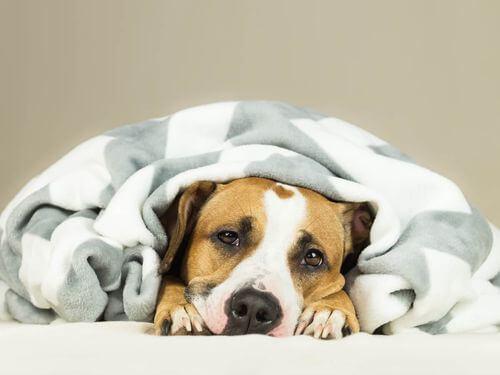 Malattie sessualmente trasmissibili nei cani. Cane con la febbre.