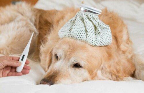 Quali sono i sintomi della febbre nei cani?
