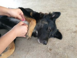 Ehrlichiosi del cane: controllo del pelo del cane.