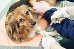 Cane sottoposto a trattamento veterinario.