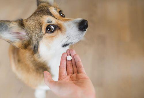 Cane che guarda con diffidenza una pillola medicinale.