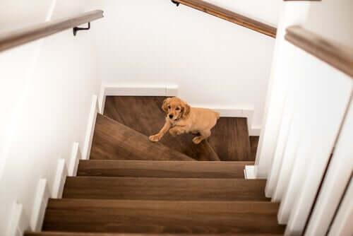 Un cane sale le scale di corsa.