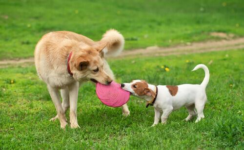 Cani che giocano.