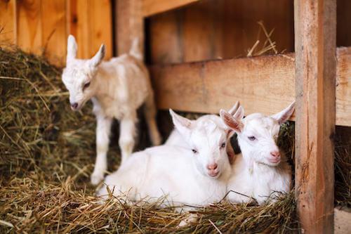 Caprette neonate in una fattoria.