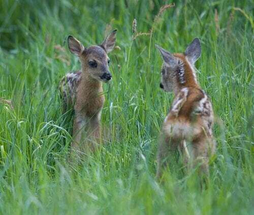Caprioli nel loro habitat.