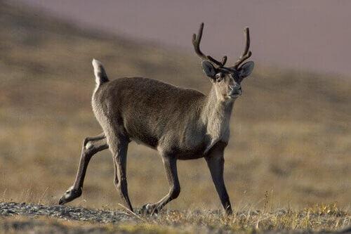 Le migrazioni delle renne: un fenomeno affascinante