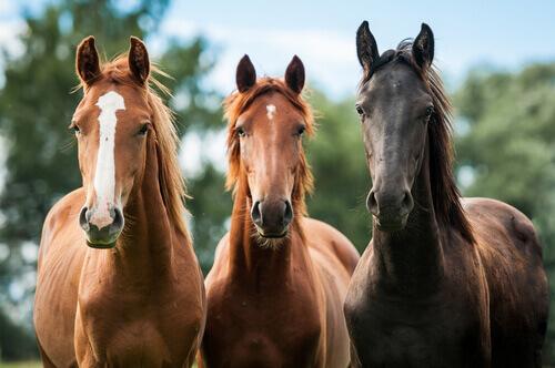 Cavalli con colore del mantello di varie gradazioni di marrone.