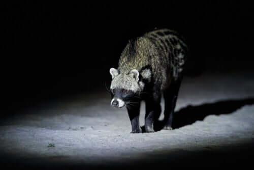 Civetta africana di notte.