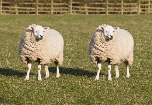 Clonazione di animali domestici: la pecora Dolly.
