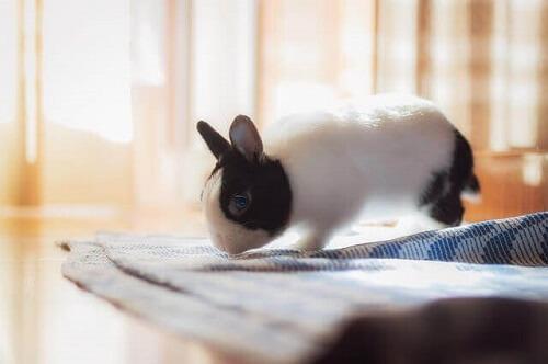Il coniglio come animale domestico per appartamento.