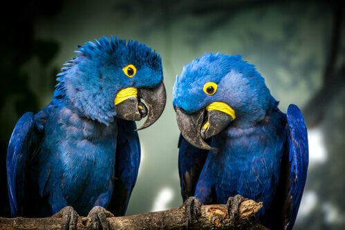 8 curiosità sull'ara giacinto, il pappagallo blu cobalto