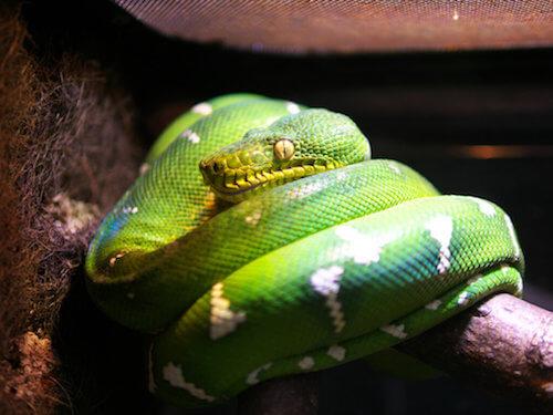 Il Boa di smeraldo: come allevarlo in cattività