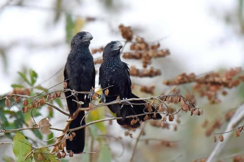 Cuculi neri sopra i rami di un albero.