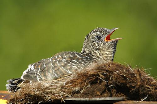 Il cuculo, un uccello astuto e crudele