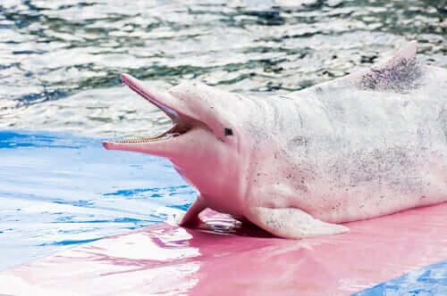 Un delfino dello Yangtze rosa.