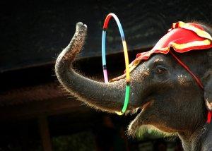 Elefante al circo.