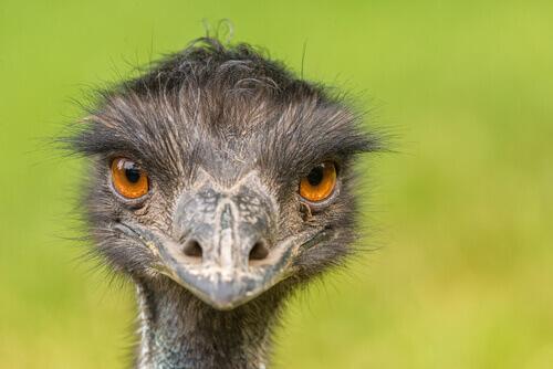 Emù: uno degli uccelli più grandi del mondo