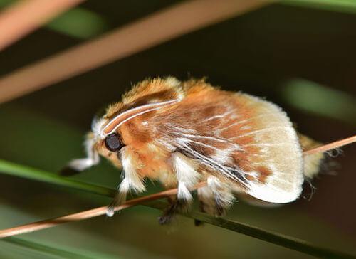 Pussy moth con ali di colore marrone rossastro.