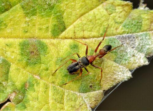 Ragni che somigliano alle formiche: il genere Myrmarachne