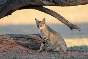 Gatti mondo. Gatto selvatico africano: l'antenato dei gatti domestici americani.