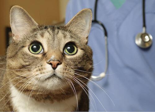 Gatto impaurito per la visita dal veterinario.