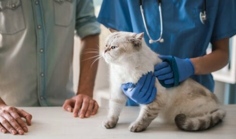 Visita veterinaria del gatto.