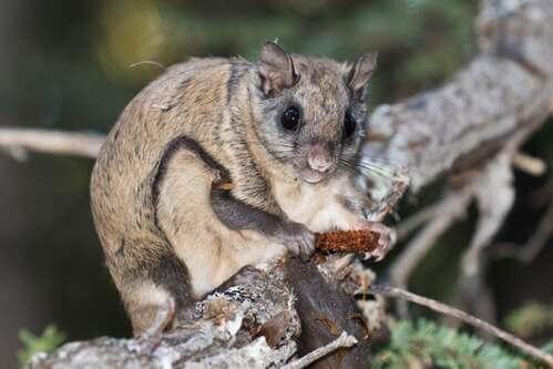 Migliaia di scoiattoli volanti vittime del traffico illegale in Florida