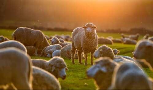 Gregge di pecore.
