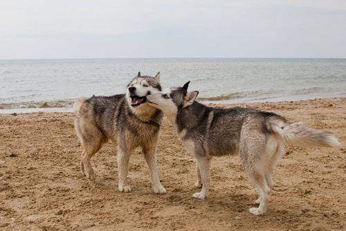 Malattie sessualmente trasmissibili nei cani: quali sono?