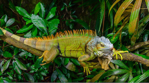 Iguana dai tubercoli nel suo habitat naturale.