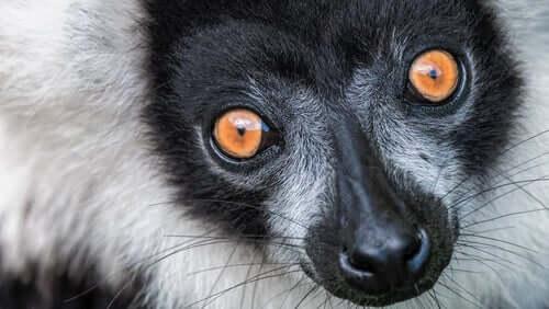 Lemure dal collare: caratteristiche, comportamento e habitat