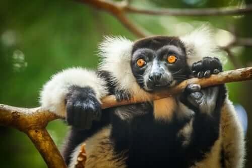 Lemure appeso al ramo di un albero.