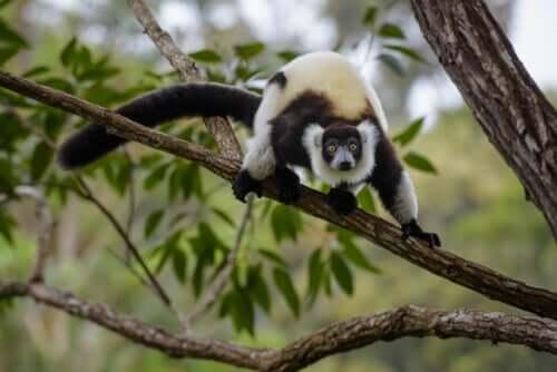 Lemure che sta per saltare dal ramo di un albero.