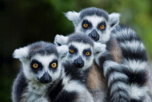 Lemure dalla coda ad anelli: caratteristiche, comportamento e habitat