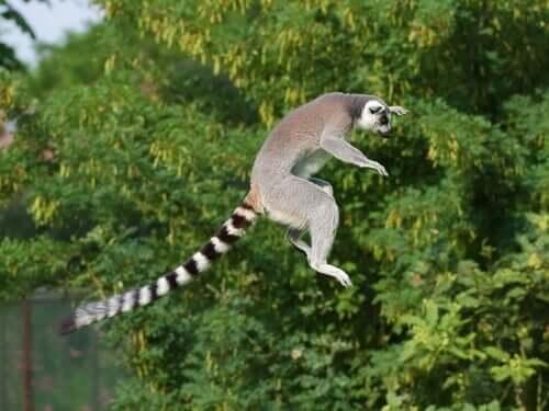Lemure dalla coda ad anelli che salta da un albero all'altro.