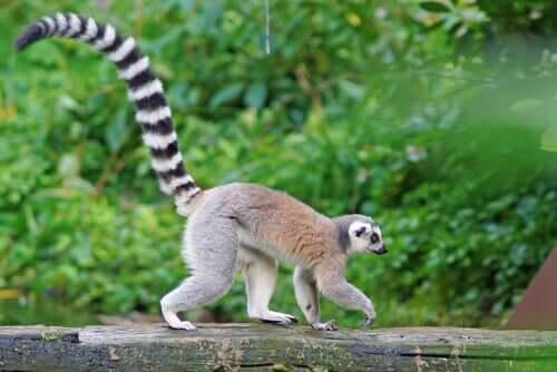Lemure che cammina nel suo habitat naturale.