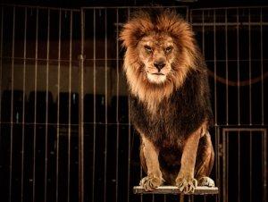 Magia e maltrattamento animale: leone in gabbia.