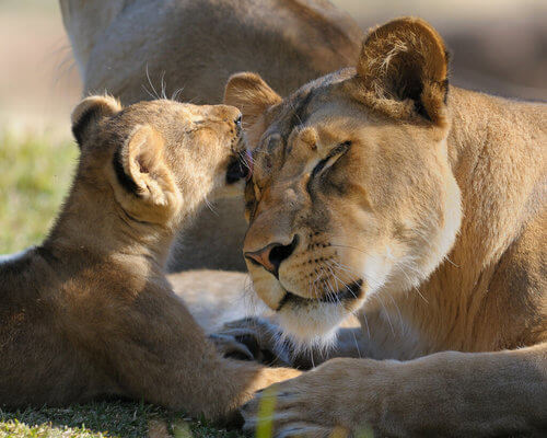 La leonessa: intelligenza, strategia e istinto materno