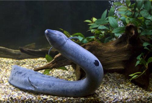 Lepidosiren Paradoxa, un pesce con i polmoni