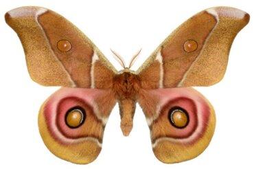 Il mimetismo acustico delle falene: un'incredibile strategia difensiva