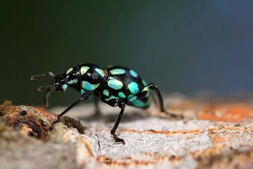 Pachyrhynchus: il gioiello a 6 zampe delle foreste asiatiche