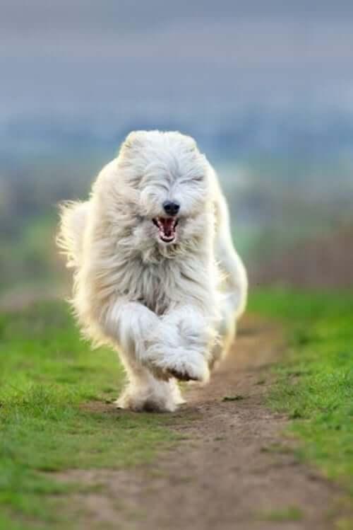 Pastore polacco di pianura che corre.