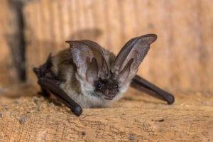 Convergenza evolutiva: pipistrello.