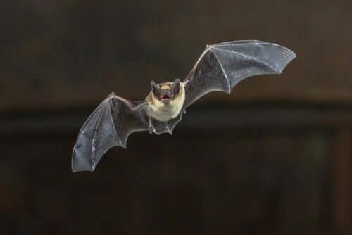 Pipistrello in volo.