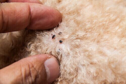 Pulci sugli animali: come capire di averle eliminate