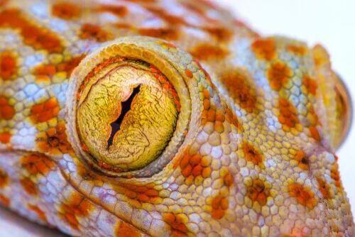 Particolare della pupilla del geco.